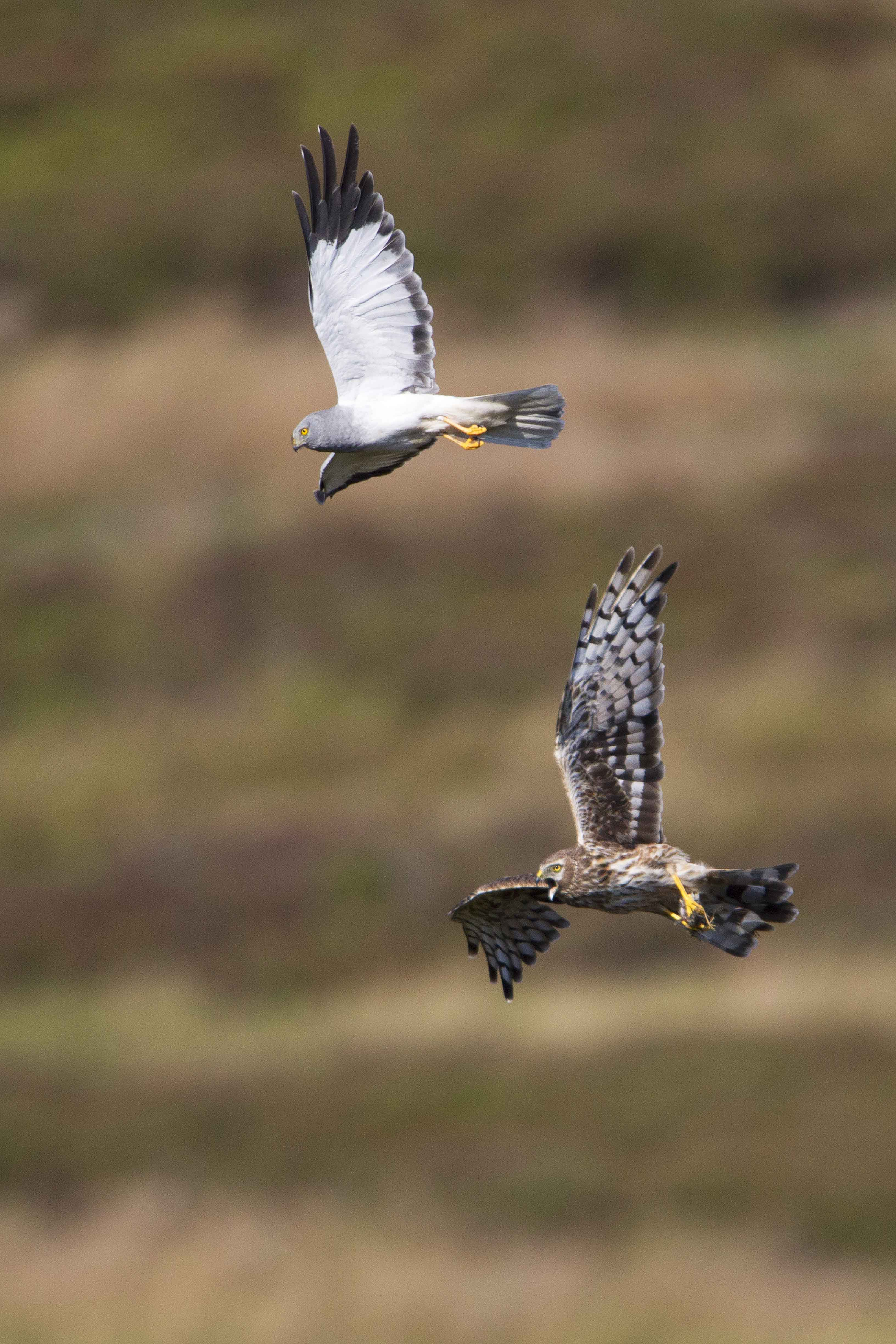 Hen-Harrier-male-and-female-food-pass-H8-2020-Keith-Offord-lo-roXBSZL.jpg