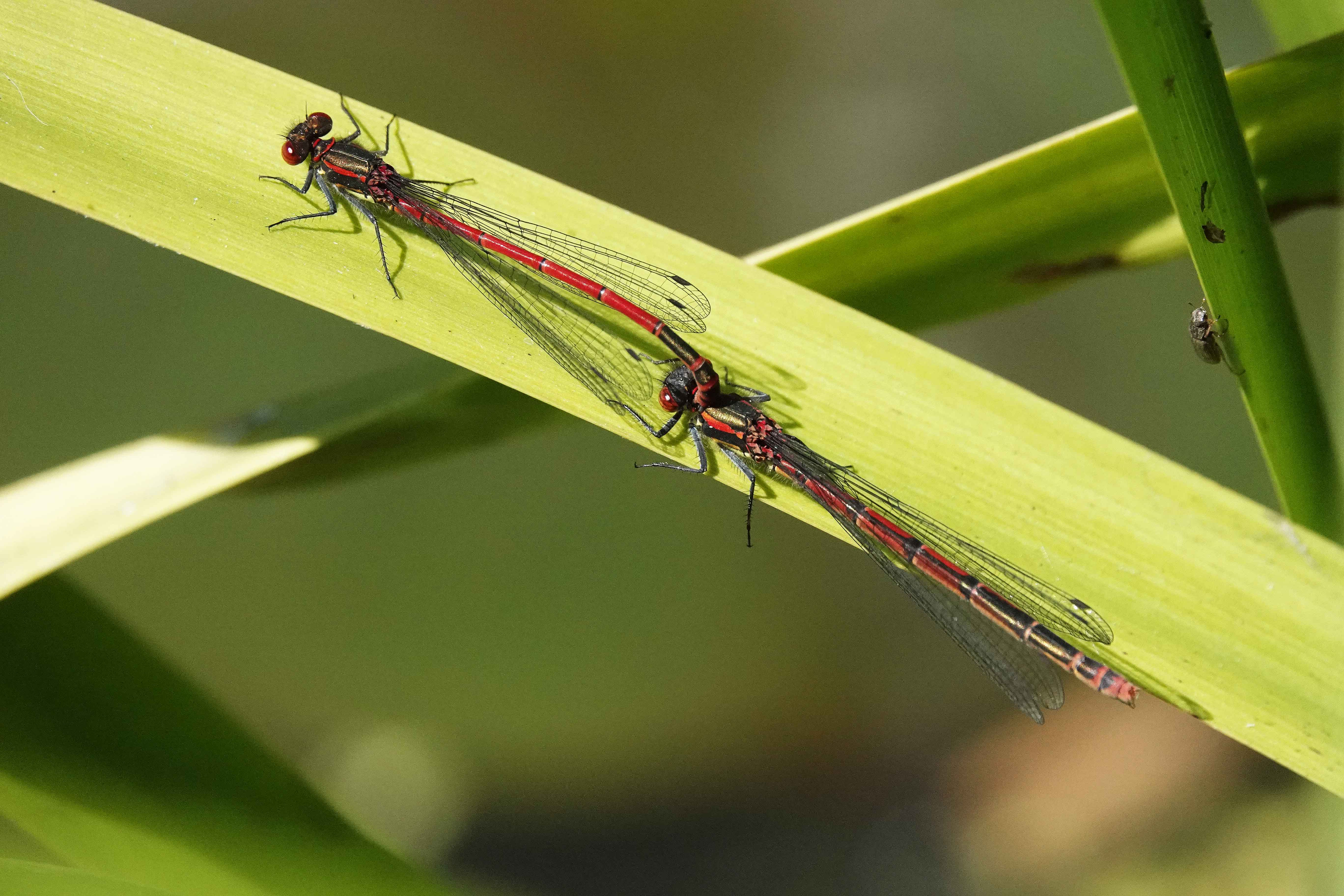 Large-Red-Damselfly-coupling-Shropshire-2020-Keith-Offord-lo-res.jpg