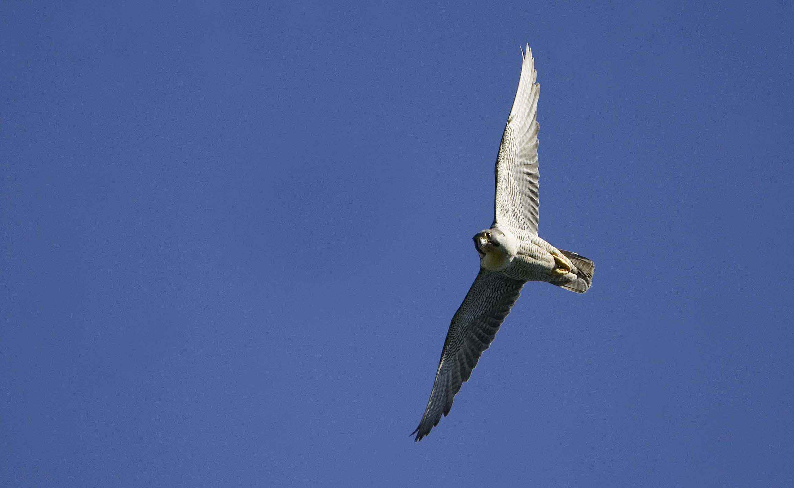 Peregrine-female-flight-Wales-09-4-low-res-Keith-offord.jpg