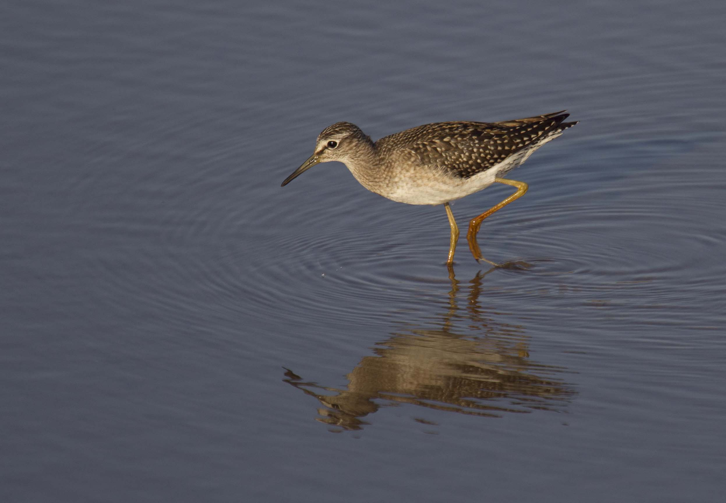 Wood-Sandpiper-Spain-2012-1-Keith-Offord.jpg