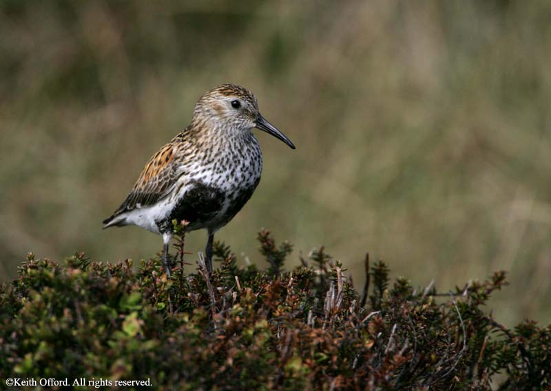 dunlin_adult_summer_derbyshire