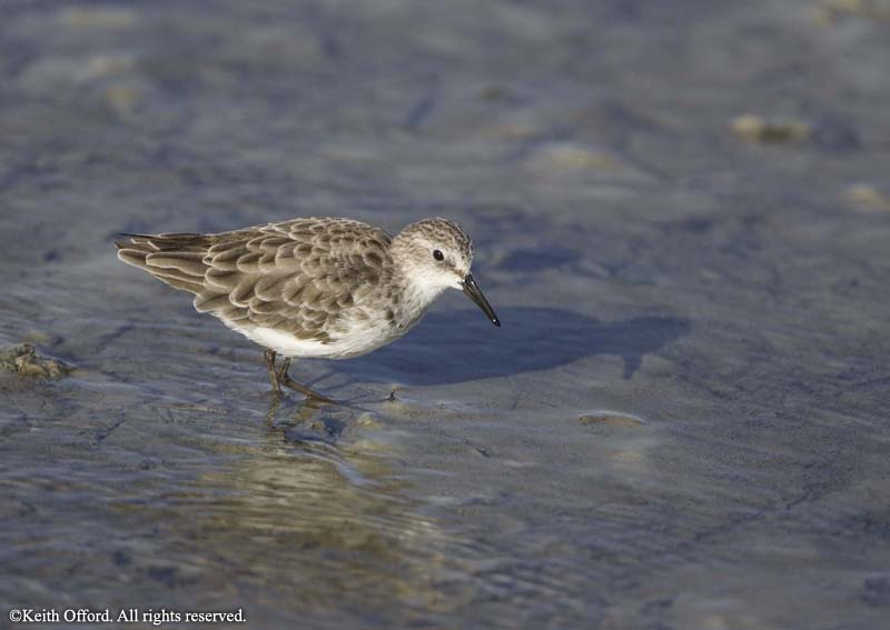 little_stint_western_cape