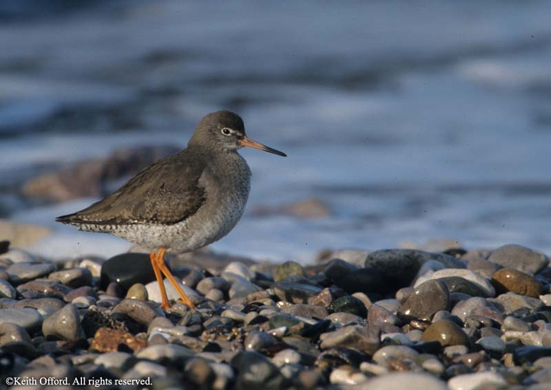redshank_north_wales