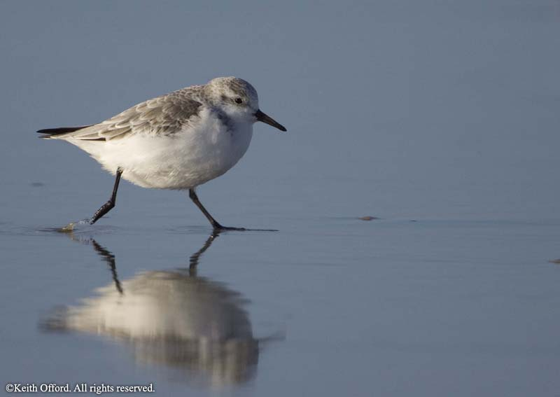 sanderling_holland