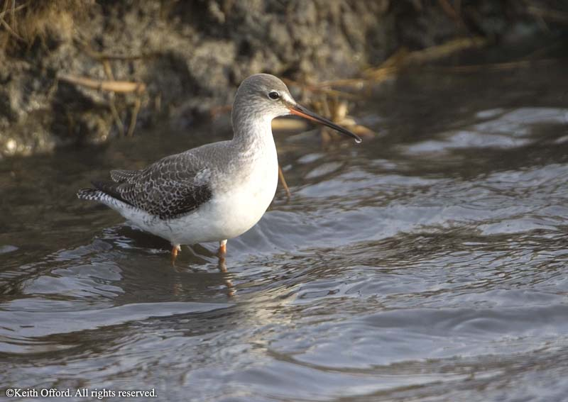 spotted_redshank